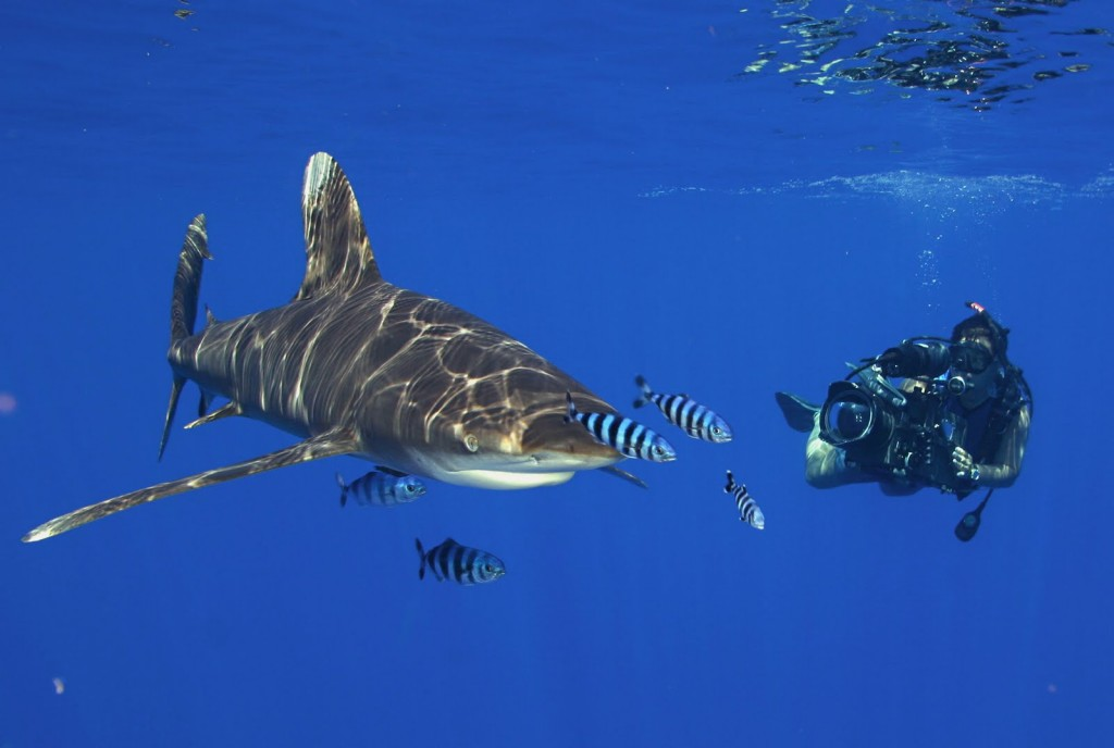 Oceanic-Whitetip-shark-5